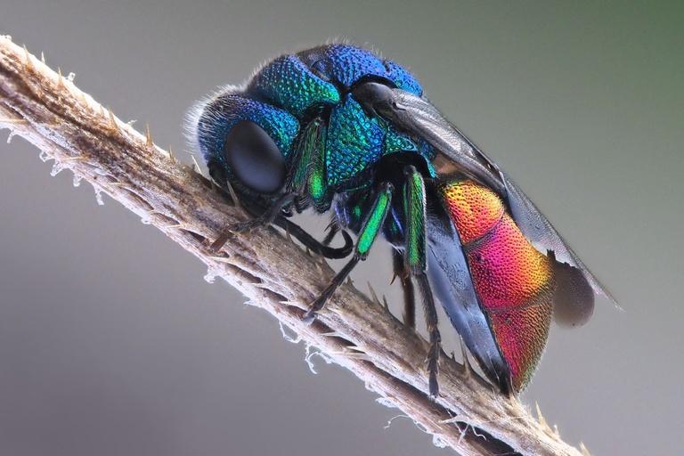 Cuckoo Emerald Wasp Norway