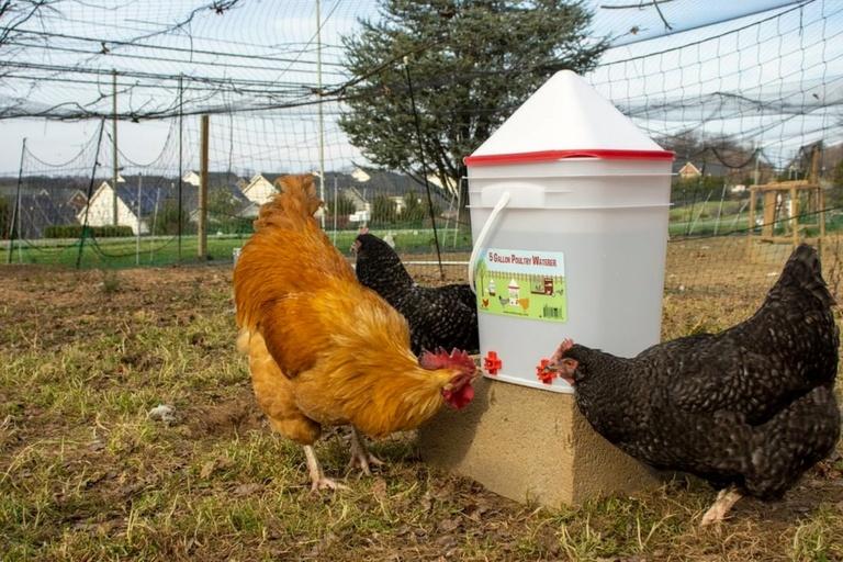 Chicken Rental Pandemic Foster