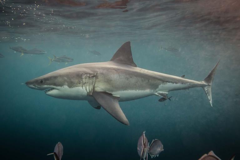 Sharks, Extinct, mystery, fossil