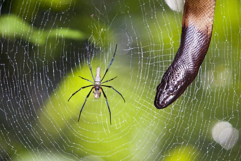 Spider Species Eats Snake