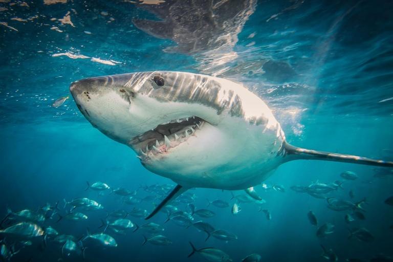 Shark week guide, discovery