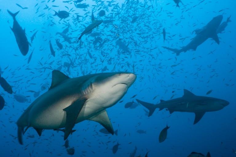 bull shark offspring discovery