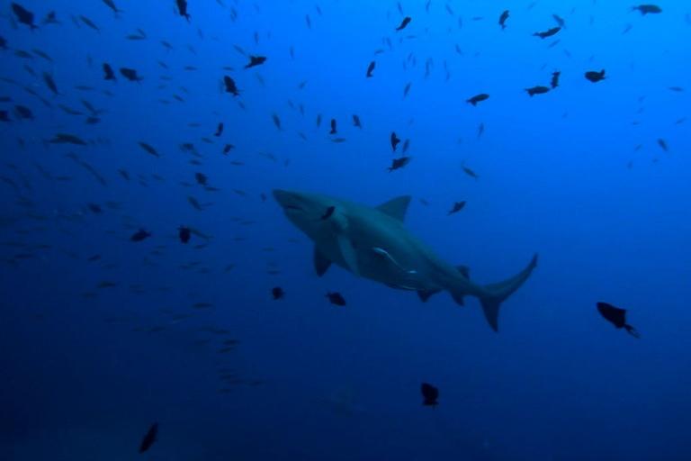 big bull shark discoveries