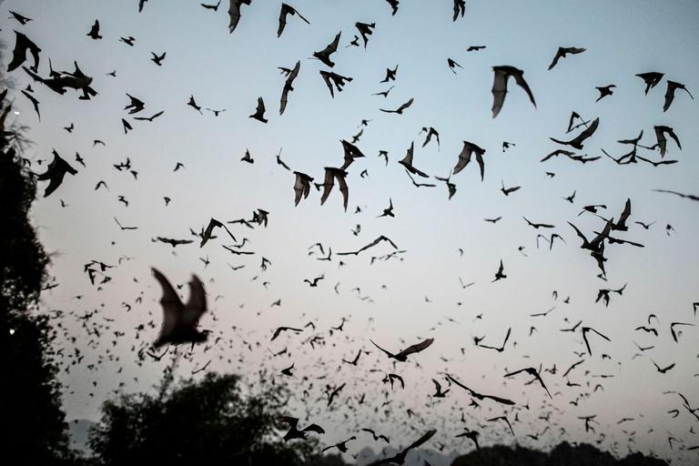 Vampire bat giant fossils