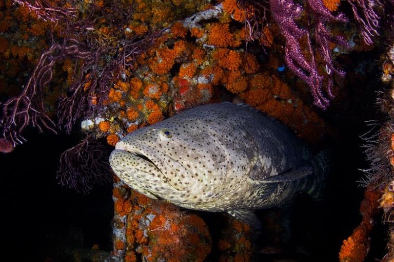goliath grouper endangered status