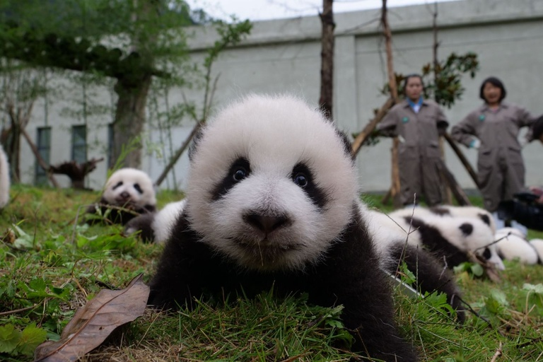 Giant panda twins birth