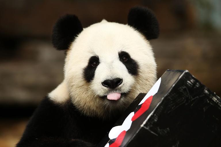 Giant panda birth zoo