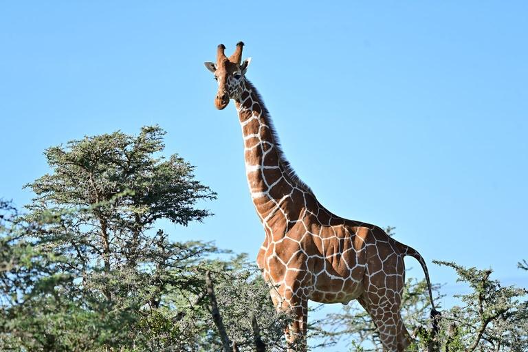 Giraffes complex social relationships