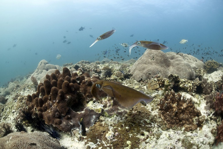 bigfin reef squid mating