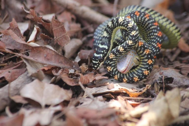 Hispaniolan vineboa new snake